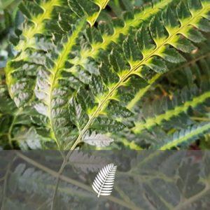 "Arachnoides aristata ""Variegata"""
