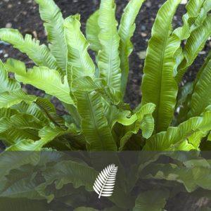"""Asplenium scolopendrium """"Angustifolia"""""""