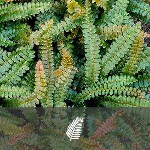 Belchnum penna-marina